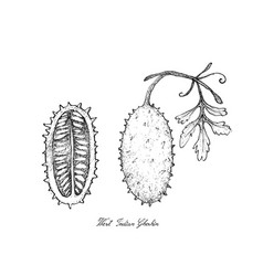 Hand drawn of fresh west indian gherkin fruit vector