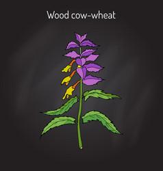 Wood cow-wheat night and day melampyrum nemorosum vector
