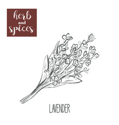 lavender sketch hand drawing lavender vector image