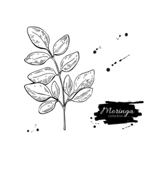 Moringa leaves superfood drawing Isolated vector image