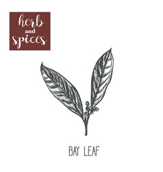 Bay leaf sketch hand drawing bay leaf vector
