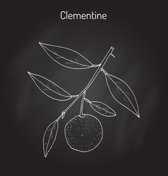 Clementine citrus clementina citrus fruit vector