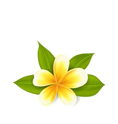 Frangipani with leaves exotic flower isolated on vector image