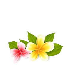 Pink and yellow frangipani plumeria exotic flowers vector
