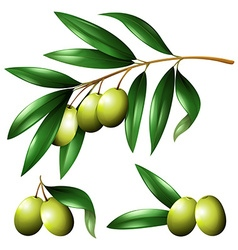 Green olives on the branch vector