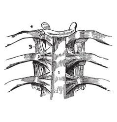 A vertebral articulation vintage vector
