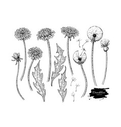 dandelion flower drawing set isolated wild vector image