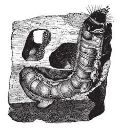 Larva of goat moth vintage vector
