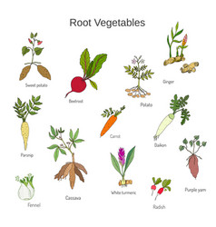 vintage hand drawn root vegetables set vector image vector image
