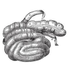 Caecum and colon of a hog vintage vector