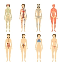Set of human organs and systems of the body vector image vector image