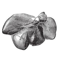 Liver of a hog vintage vector