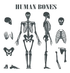 Human skeleton with different parts vector