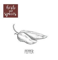 pepper sketch hand drawing pepper vector image vector image