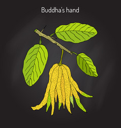 Fingered citron citrus medica or buddha s hand vector