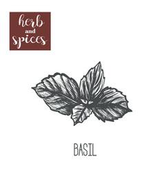 basil herb skech hand drawing basil vector image vector image