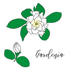 gardenia jasminoides cape jasmine danh-danh vector image vector image