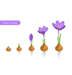 Crocus flower plant growth evolution concept vector