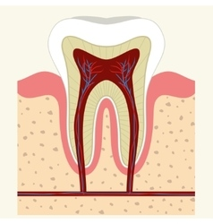 Human tooth and gum anatomy vector image vector image