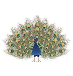 Cartoon Peacock Portrait vector image