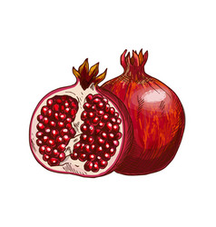 Pomegranate fruit isolated sketch for food design vector