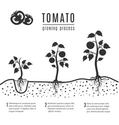 tomato plant with roots growing stages vector image
