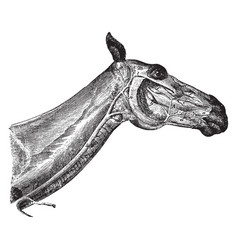 Head and neck of a horse showing veins vintage vector