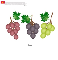 Ripe grape a popular fruit in kazakhstan vector