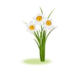 Daffodill white vector image