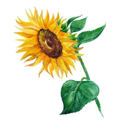 Sunflower flower painted by hand vector