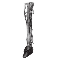 Leg of a horse showing nerves vintage vector