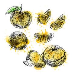 watercolor hand drawn set of mandarin vector image vector image