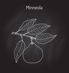 Mineola citrus tangelo fruit vector