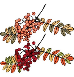 Autumn rowan berry branch vector