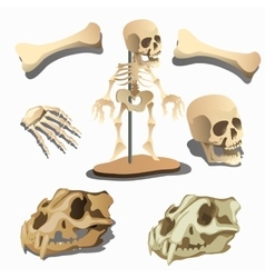 Human skeleton body parts and animals skulls vector
