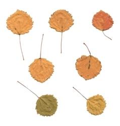 Autumn birch or betula aspen populus tremula vector