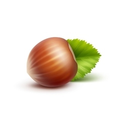 Full unpeeled hazelnut with leaves isolated vector