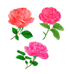 Three flower pink rose twig with leaves vector