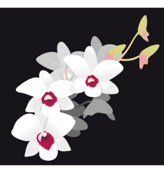white orchid vector image