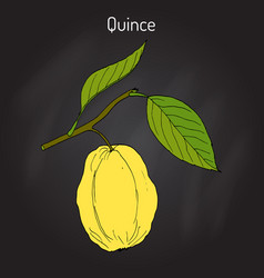 quince cydonia oblonga fruit tree branch vector image