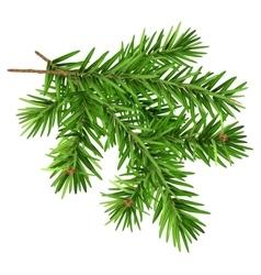 Green fluffy fir branch vector