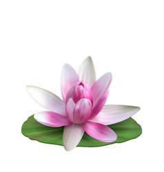 Water lily nenuphar spatter-dock pink lotus on vector