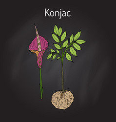 Elephant yam or konjac plant konnyaku potato vector