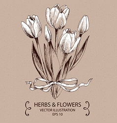 White tulips vector