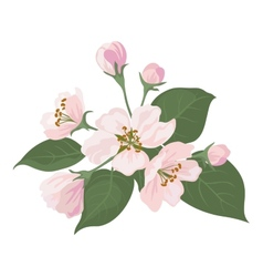 Apple tree flowers and green leaves vector image