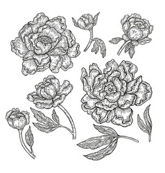 hand drawn peony flowers and leaves isolated on vector image