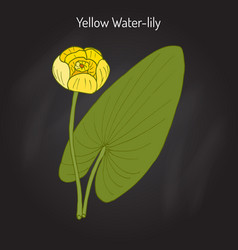 Yellow water-lily or brandy-bottle nuphar lutea vector