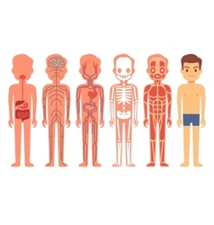 Human body anatomy  male vector