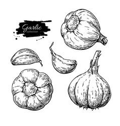 Garlic hand drawn set vector