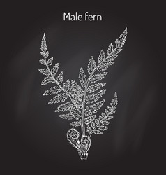 male fern dryopteris filix-mas plant with leaves vector image
